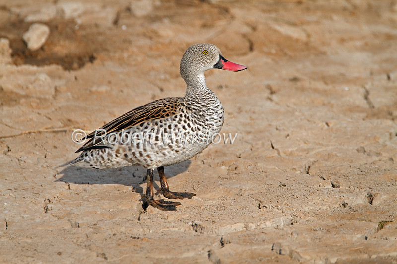 Cape Teal, Anas capensis, Amboseli National Park, Kenya, Africa