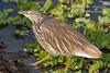 Squacco Heron, Ardeola ralloides, Masai Mara National Reserve, Kenya, Africa, Ciconiiformes Order, Ardeidae Family