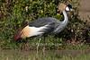 Grey Crowned Crane, Balearica regulorum gibbericeps, Ol Pejeta Conservancy, Kenya, Africa