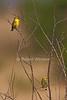 Yellow-fronted Canary, Serinus mozambicus, Masai Mara, Kenya, Africa