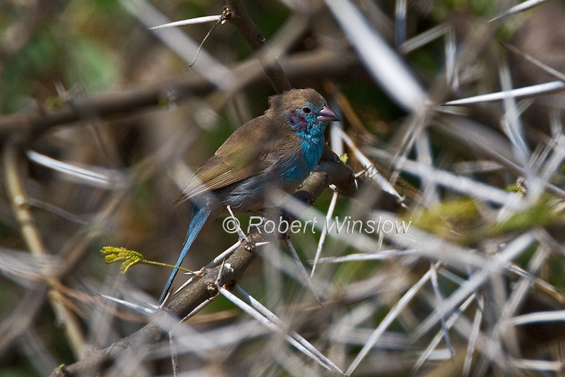 Red-cheeked Cordon-bleu or Red-cheeked cordonbleu, Uraeginthus bengalus. Samburu National Reserve, Kenya, Africa