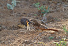 Spotted Morning-thrush, Cichladusa guttata, with a locust, Tsavo East National Park, Kenya, Africa