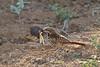 Spotted Morning-thrush, Cichladusa guttata, with a locust, Tsavo East National Park, Kenya, Africa