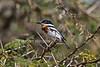 Pygmy Batis, Batis perkeo, Samburu National Reserve, Kenya, Africa