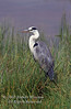 Heron, Grey Heron, Ardea c. cinerea, Amboseli National Park, Kenya, Africa, Ciconiiformes Order, Ardeidae Family