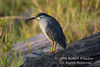 Striated Heron, also known as Green-backed Heron, Butorides straitus, Masai Mara National Reserve, Kenya, Africa