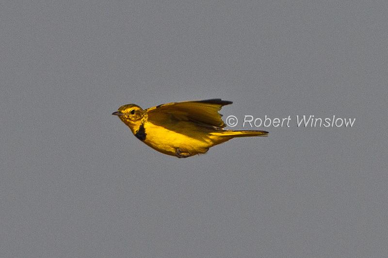 Golden Pipit, Tmetothylacus tenellus, in flight, Tsavo East National Park, Kenya, Africa