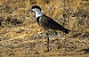 Spur-winged Plover or Spur-winged Lapwing, Vanellus spinosus, Samburu National Reserve, Kenya, Africa, Charadriiformes Order, Charadriidae Family