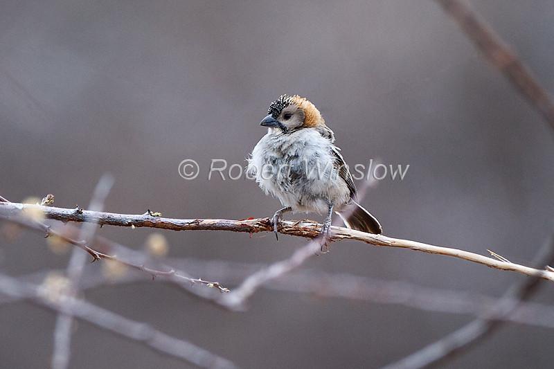 Speckle-fronted Weaver, Sporopipes frontalis emini, Samburu National Reserve, Kenya, Africa, local and uncommon
