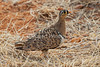 Male, Black-faced Sandgrouse, Pterocles, decoratus, Samburu National Reserve, Kenya, Africa