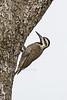 Bearded Woodpecker, Chloropicus namaquus, Masai Mara National Reserve, Kenya, Africa