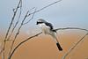 Grey-backed Fiscal Shrike, Lanius excubitoroides,  Masai Mara National Reserve, Kenya, Africa, Passeriformes Order, Laniidae Family