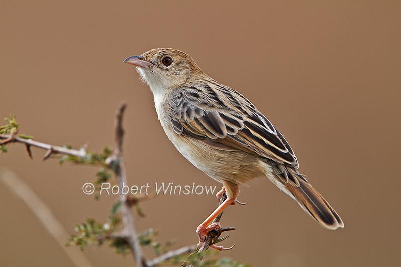 Stout Cisticola, Cisticola robustus, Masai Mara, Kenya, Africa, Passeriformes Order, Cisticolidae Family