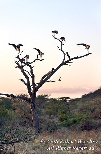 Stork, Marabou Storks in a tree at Sunset, Leptoptilus crumeniferus, Samburu National Reserve, Kenya, Africa, Ciconiiformes Order, Ciconiidae Family