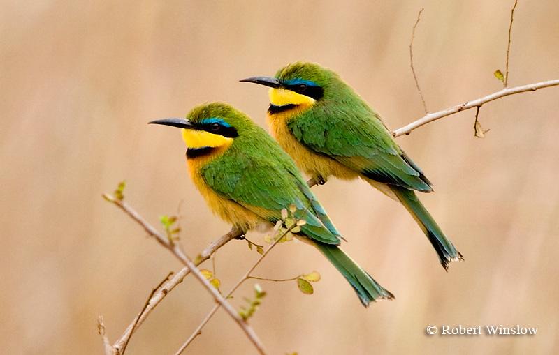Bee-eater, Little Bee-Eater (Merops pusillus cyanostictus), Nairobi National Park, Kenya, Africa, Coraciiformes Order, Meropidae Family