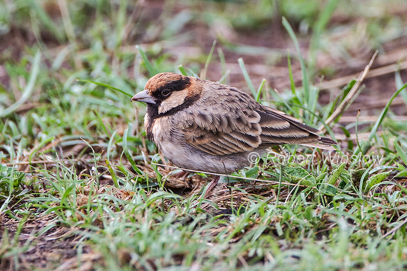 Fischer's Sparrow-lark, or Fischer's Finch-lark, Eremopterix leucopareia, Masai Mara, Kenya, Africa