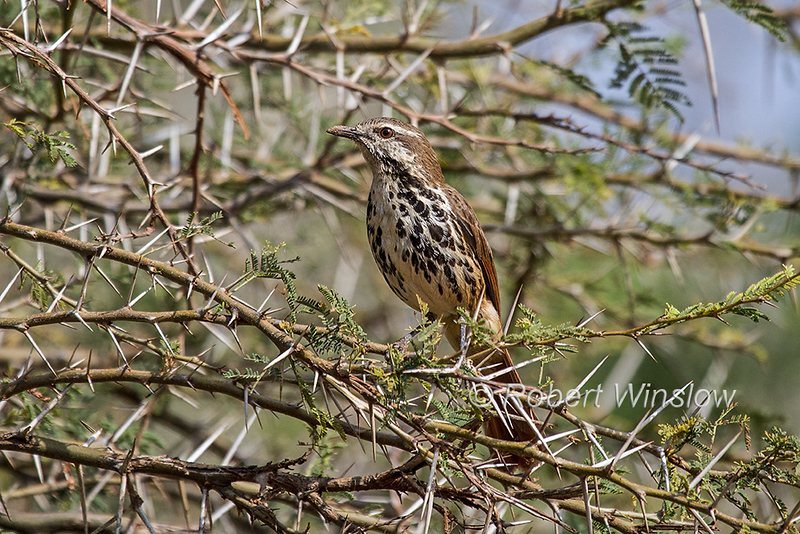 Spotted Palm Thrush, Cichladusa guttata, also known as the Spotted Morning-thrush, Samburu National Reserve, Kenya, Africa