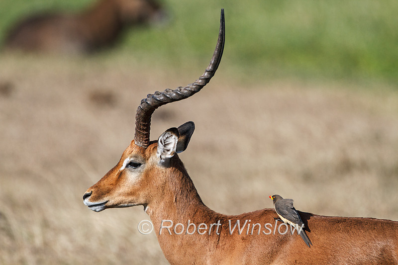 Yellow-billed Oxpecker (Buphagus africanus) on the back of a Male Impala, Ol Pejeta Wildlife Conservancy, Kenya, Africa