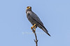 Grey Kestral, Falco ardosiaceus, Masai Mara National Reserve, Kenya, Africa