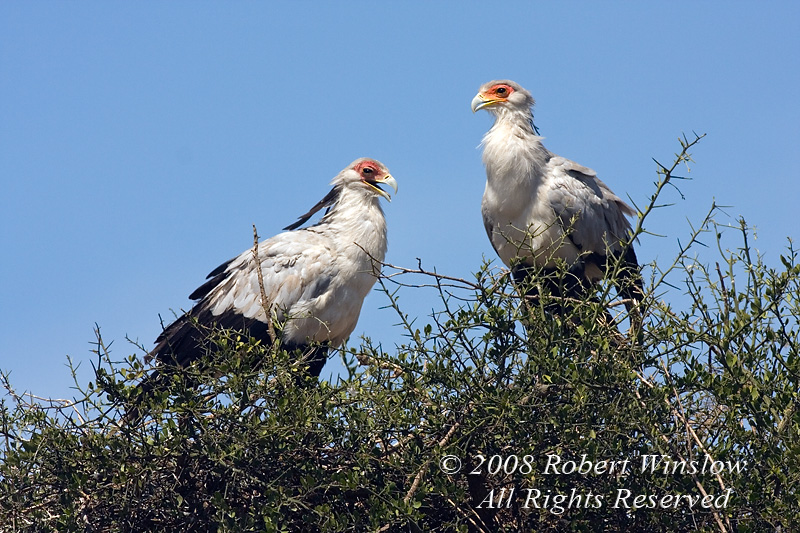 Secretary bird, Two Secretary Birds, Sagittarius serpentarius, Masai Mara National Reserve, Kenya, Africa, Falconiformes Order, Sagittariiddae Family