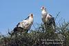 Secretary bird, Two Secretary Birds, Sagittarius serpentarius, Masai Mara National Reserve, Kenya, Africa, Falconiformes Order, Sagittariiddae Family