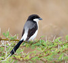 Fiscal Shrike, Long-Tail Fiscal Shrike (Lanius cabanisi), Nairobi National Park, Kenya, Africa, Passeriformes Order, Laniidae Family
