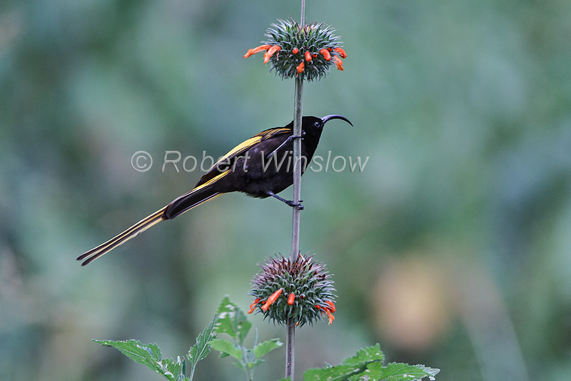 Male Golden-winged Sunbird, Drepanorhynchus reichenowi, or, Nectrarinia reichenowi, Lake Nakuru National Park, Kenya, Africa