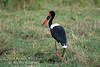 Stork, Saddle billed Stork, Female,  Ephippiorhynchus senegalensis, Masai Mara National Reserve, Kenya, Africa, Ciconiiformes Order, Ciconiidae Family
