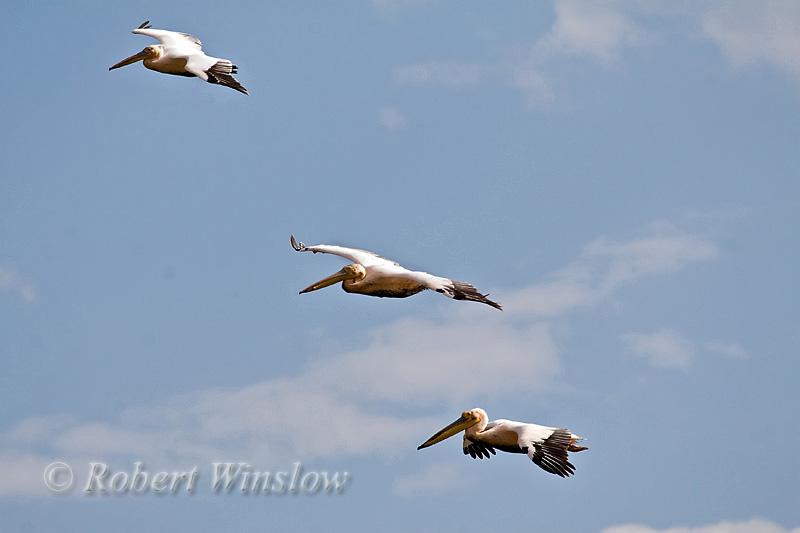 Pelican, Three Great White Pelicans Flying, Pelecanus onocrotalus, Lake Nakuru National Park, Kenya, Africa, Pelecaniformes Order, Pelecanidae Family