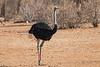 Somali Ostrich, Male, aka Blue-necked Ostrich, Struthio molybdophanes, Samburu National Reserve, Kenya, Africa