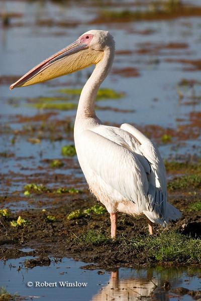 Pelican, Great White Pelican (Pelecanus onocrotalus), Amboseli National Park, Kenya, Africa, Pelecaniformes Order, Pelecanidae Family