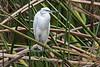 Little Egret, Egretta garzetta, Lake Naivasha, Kenya, Africa