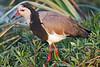 Long-toed Lapwing,Vanellus crassirostris, Amboseli National Park, Kenya, Africa