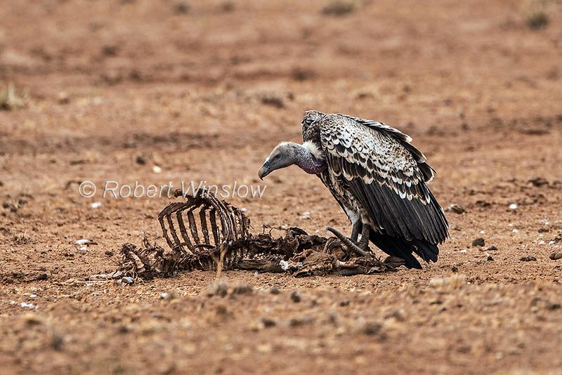 Rüppell's Griffon Vulture, Gyps rueppelli, Samburu National Reserve, Kenya, Africa, Critically Endangered