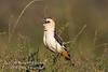 Weaver, White-headed Buffalo-weaver, Dinemillia dinemelli boehmi, Samburu National Reserve, Kenya, Africa, Passeriformes Order, Ploceidae Family