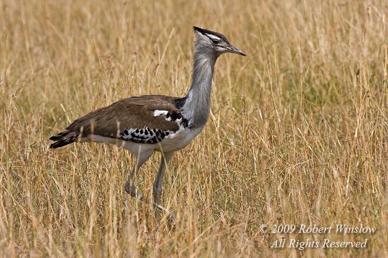 Kori Bustard, Ardeotis kori struthiunculus, The Heaviest Flying Bird in Tropical Africa. Males weigh up to 18 kg or more.  Masai Mara National Reserve, Kenya, Africa, Gruiformes Order, Otididae Family