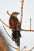 White-browed Coucal, Centropus superciliosus, Lake Baringo, Kenya, Africa, Cuculifromes Order, Cuculidae Family