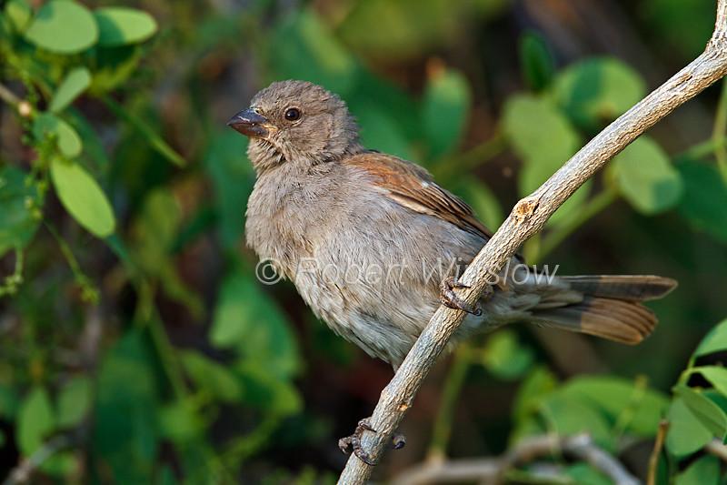 Grey-headed Sparrow, Passer griseus, Samburu National Reserve, Kenya, Africa