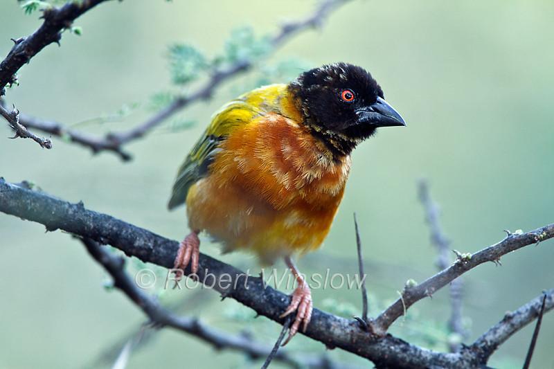 Golden-backed Weaver, Ploceus jacksoni, Lake Baringo, Kenya, Africa