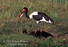 Stork, Saddle billed Stork, Male,  Ephippiorhynchus senegalensis, with a fish in its bill, Masai Mara National Reserve, Kenya, Africa, Ciconiiformes Order, Ciconiidae Family