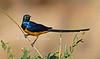 Golden-breasted Starling, Cosmopsarus regius, Samburu National Reserve, Kenya, Africa, Passeriformes Order, Sturnidae Family