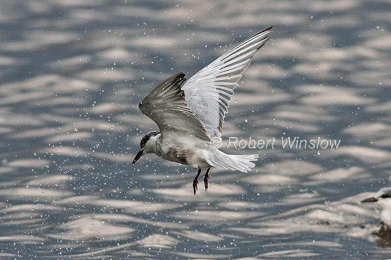 Whiskered Tern, Chlidonias hybrida, Lake Nakuru National Park, Kenya, Africa