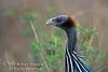Guineafowl, Vulturine Guineafowl, Acryllium vulturinum, Samburu National Reserve, Kenya, Africa, Numididae Family, Galliformes Order