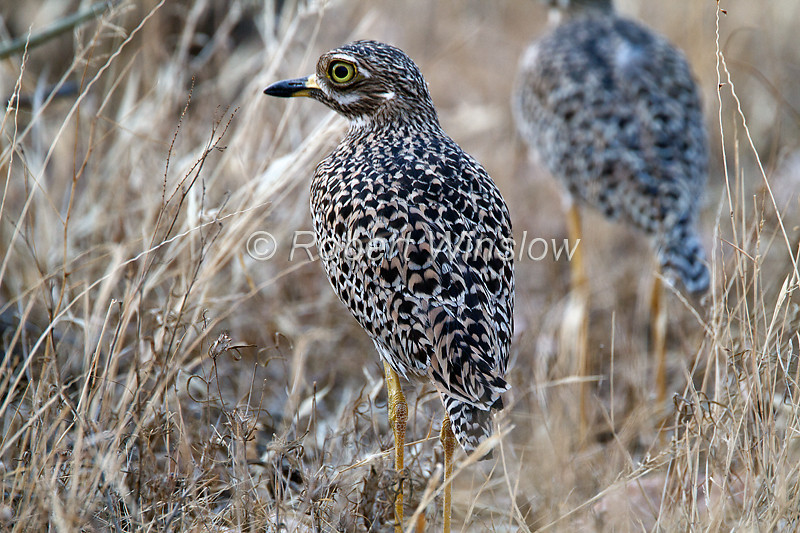 Spotted Thick-knee, Burhinus capensis, Samburu National Reserve, Kenya, Africa