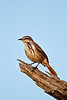 Spotted Morning-thrush, Cichladusa guttata, Lake Baringo, Kenya, Africa