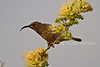 Female Hunter's Sunbird, Chalcomitra hunteri, Tsavo West National Park, Kenya, Africa