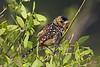 d'Arnaud's Barbet, Trachyphonus darnaudii, Samburu National Reserve, Kenya, Africa, Piciformes Order, Capitonidae Family