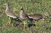 African Wattled Lapwing or Senegal Wattled Plover, Vanellus senegallus, Masai Mara National Reserve, Kenya, Africa