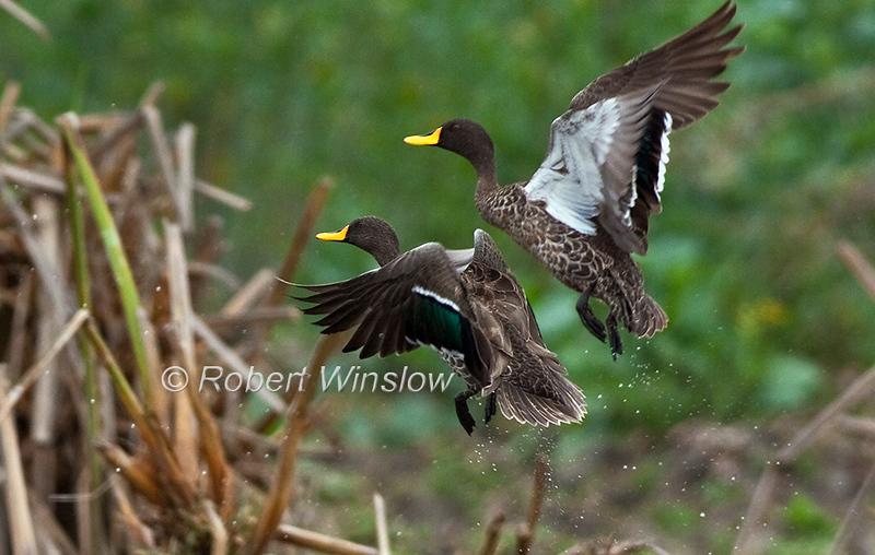 Yellow-billed Ducks, Anas undulata, Flying, Lake Naivasha, Kenya, Africa