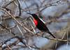 Hunter's Sunbird, Nectarinia hunteri, Samburu National Reserve, Kenya, Africa, Order: Passeriformes, Family: Nectariniidae